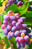 Ripened Grape — Stock Photo