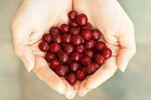 Red haws in hands — Stock Photo