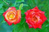 Two red-yellow roses — Stock Photo