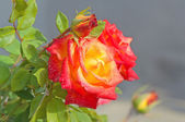 Red-yellow rose with buds — 图库照片