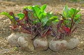 Fresh beetroot bunch — Stock Photo