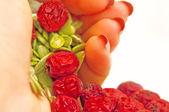 Frön rullande från palm — Stockfoto
