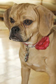 Young Puggle Portrait — Stock Photo