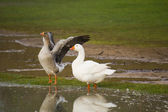 Duck and Swan — Stock Photo