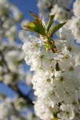 Flor de flor de primavera árbol — Foto de Stock