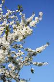 Spring tree blossom flower — Stock Photo
