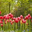 Royalty-Free Stock Photo: Pink tulips, earthworm view