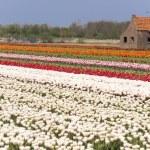 Dutch flower fields in the spring — Stock Photo