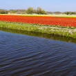 Dutch flower fields in the spring — Stock Photo