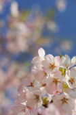 Japanese cherry in bloom — Stockfoto