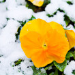 Flowers under snow — Stock Photo