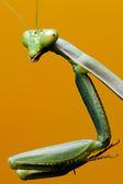 Macro Iris Oratoria Mantis orange background — Stock Photo