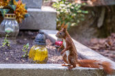 Squirrel on the grave — Stock Photo