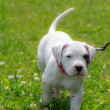 Stock Photo: Little dogo argentino