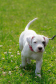 Little dogo argentino — Stock Photo