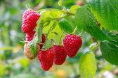 Growing raspberries — Stock Photo