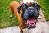Happy boxer dog — Stock Photo