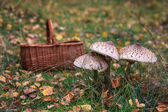 Parasol mushrooms and wicker basket — Stock Photo