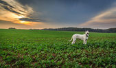 Dogo argentino on the field — Stock Photo