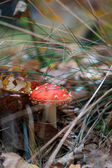 Amanita Muscaria — Stock Photo