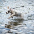 Stock Photo: Dog playing in water