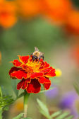 Bumble bee collecting pollen — Stock Photo
