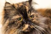 Fluffy cat with big shiny eyes — Stock Photo