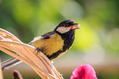 Great Tit carrying food — Stock Photo