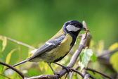Great Tit carrying mosquito — Stock Photo