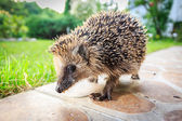 Walking hedgehog — Stock Photo