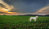 Dog on the field at sunset — Stock Photo