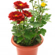 Chrysanthemum flowers in pot — Stock Photo