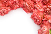 Carnation stack up with copy space — Stock Photo