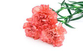 3 carnation stack up with copy space — Stock Photo