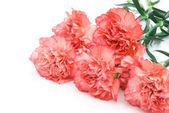 6 carnation stack up with copy space — Stock Photo