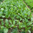 Rows of planted vegetable — Stock Photo #25044949
