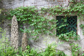Window surrounded by creeping ivy plants — Stock Photo