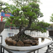 Bonsai exhibition — Stock Photo