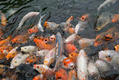 Crowded Koi carps in a pond — Stock Photo
