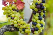 Tros druiven — Stockfoto