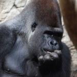 Gorilla tenendo la mano sulla sua bocca — Foto Stock