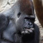 gorila mano sobre su boca — Foto de Stock