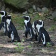 Stock Photo: Penguins standing in group