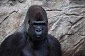Black gorilla in the rocky background — Stock Photo