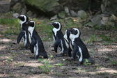 Penguins standing in a group — Stock Photo