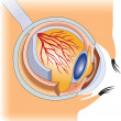 Stock Photo: Eye. structure of humeye