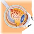 The structure of the human eye - Stock Vector