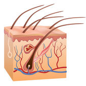 Human skin and hair structure. Vector illustration. — Vecteur