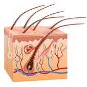 Lidské struktura kůže a vlasů. vektorové ilustrace. — Stock vektor