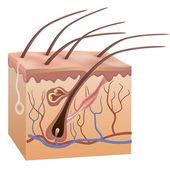 Estructura de piel y el cabello humana. ilustración vectorial. — Vector de stock
